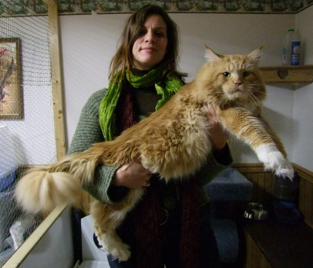 Maine_coon_red_tabby_white_of_10_kg